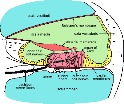 the cochlea cochlea hair cells diagram biology cells diagram and definitions